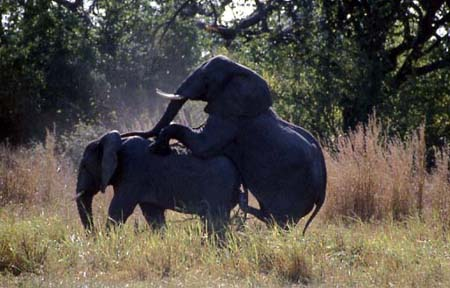 Apareamiento entre elefantes en cautividad animales en video - Animales salvajes apareandose ...