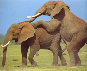 Elefantes peleándose, amándose, reproduciéndose (BBC)
