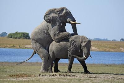 Sexo entre elefantes en libertad