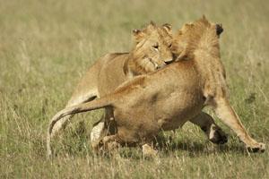 Apareamiento entre leones