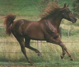 caballo arabe cabalgando