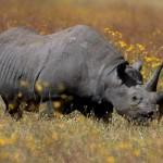 Rinoceronte en busca de amor