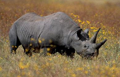 rinoceronte rhino