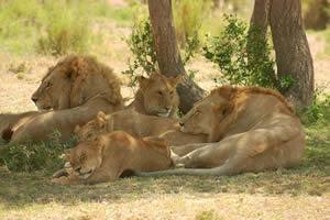 Familia leones descansando