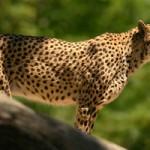 Guepardo persiguiendo a una gacela