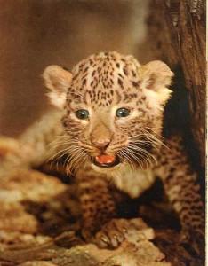 guepardo cachorro