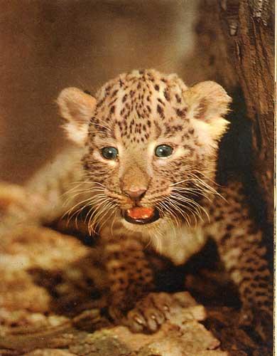 Un mandril apunto de descubrir a un cachorro de guepardo