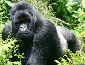 Gorilas espalada plateada