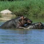 Hipopótamos amándose en el Serengueti