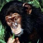 Chimpancé juega al Pacman