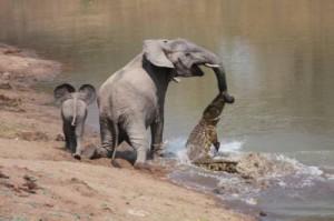 cocodrilo ataca elefante