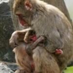 Comunicación facial entre macacos madre e hija