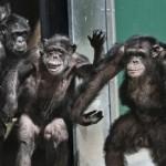 Liberan a un grupo de chimpancés tras 30 años de cautiverio