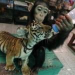 Chimpancé apadrina bebes de tigre