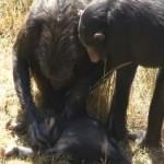 Madre chimpancé con su hijo muerto