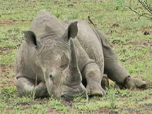 Elefante juega con rinoceronte