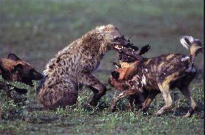 hiena Perros salvajes