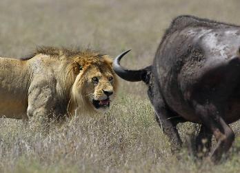 Leones cazan dos Búfalos. Reserva Addo, Sudafrica.