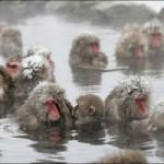 Los monos de la nieve en Japón