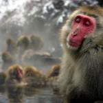 Monos de las nieves: hora del baño