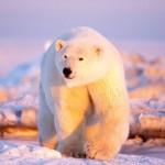 Oso Polar en hielo muy fino