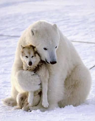Oso polar husky