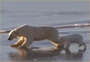 Oso polar skateboard