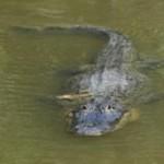 Lucha Pitón contra cocodrilo