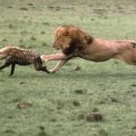 Leones marcando su territorio ante las hienas