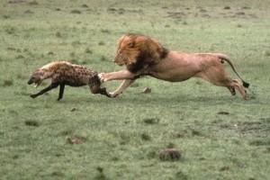 leon hiena