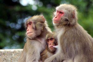 monos macacos