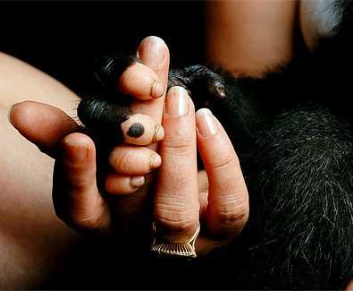 Europeos adoptan gorilas