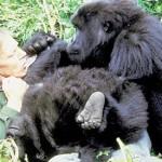 Documental Gorilas: David Attenborough entre gorilas