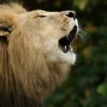 Vídeo Leones: León rugiendo en la sabana