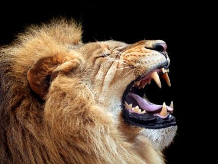 León rugiendo en primer plano (HD)