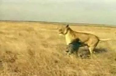 Leona atacada por un jabalí