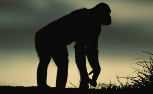 Mono primate chimpance