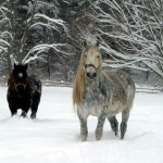 Caballo percherón negro en la nieve