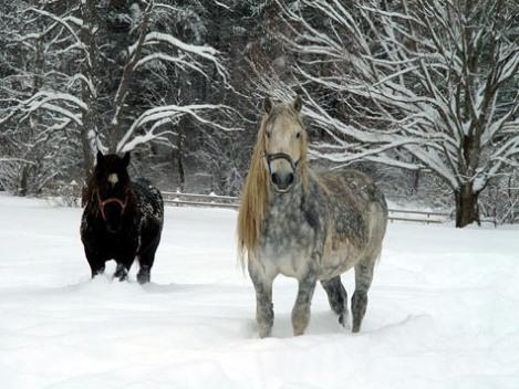caballos percheron nieve