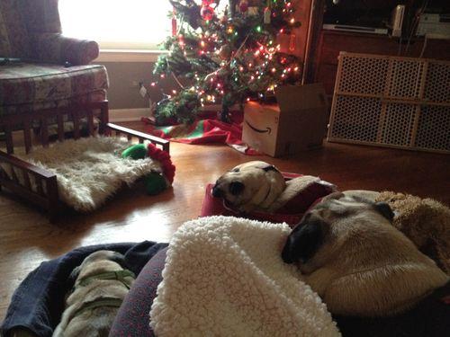 Perros Carlinos echando una siesta