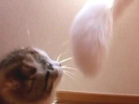 Gatito pelea contra una cola