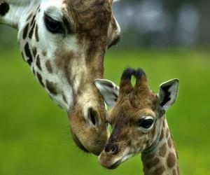 Jirafa: Amor de madre