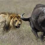 Leona y león intentando cazar un búfalo