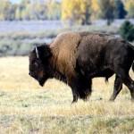 El Hombre y la Tierra: Gran Fauna Canadiense