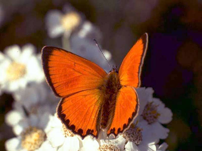 Mariposas naranja