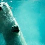 Oso Polar nada en el verano ártico (Video Animales BBC)
