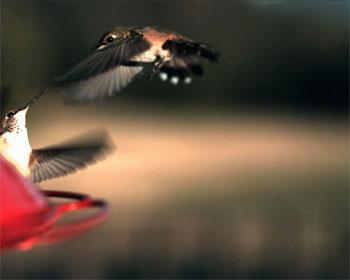 Vídeo de pájaros volando en slow motion