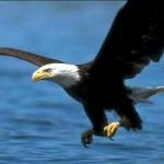 Águila de cabeza blanca en slow motion