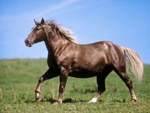 caballo africano