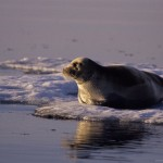 Orcas cazando una foca en un bloque de hielo